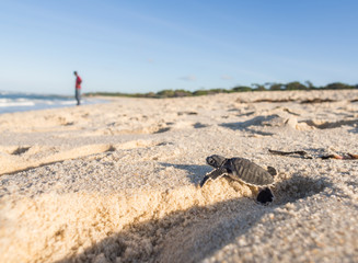 Baby green sea turtle on its way to the see in Tanzania, Africa