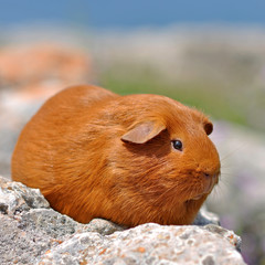 search photos guineapig
