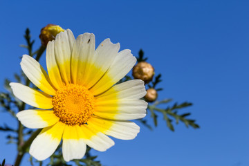 White daisy flower with yellow center against blue sky