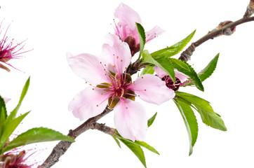 Peach Tree (Prunus persica) Clipping