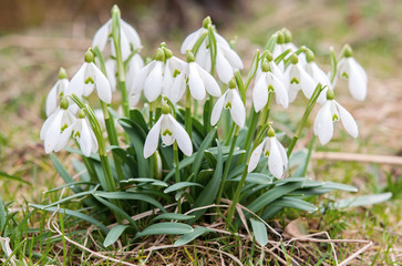 bunch Snowdrop