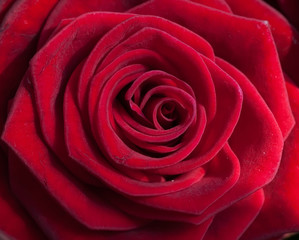 beautiful red rose of close up photo