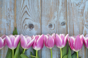 Old grey blue wooden background with pink white tulips border in a row  and empty copy space with wooden spring summer decoration
