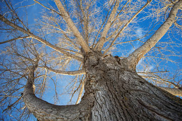 Tall bare elm tree taken from bottom looking up