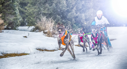 Race of sled dogs on the Italian alps