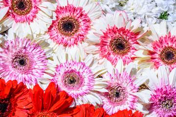 Closeup daisies on Lent carpet, Antigua, Guatemala
