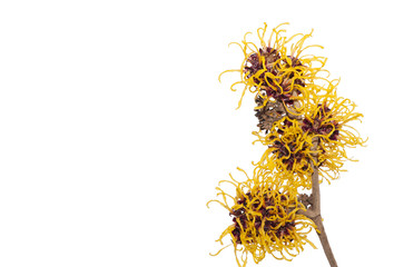 Twig of Hamamelis.Hamamelis or Witch-hazels isolated on white background.