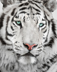 Wall Mural - Elegant white tiger portrait