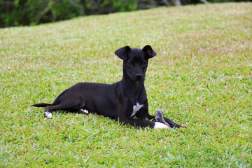 Dog playing / Black dog chewing cow hooves over green grass background