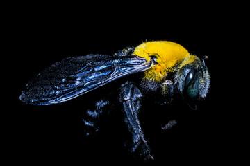 Bumblebee on Black background