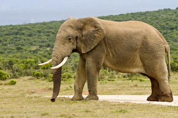 Large male elephant in Must standing in the raod