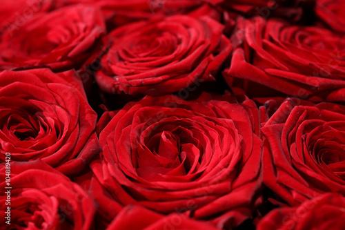 rote rosen stockfotos und lizenzfreie bilder auf bild 104889420. Black Bedroom Furniture Sets. Home Design Ideas