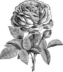 Vintage drawing rose