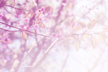 sakura, the famouse flower of Thailand