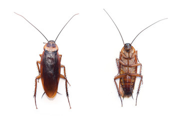front and back cockroach isolate on white background