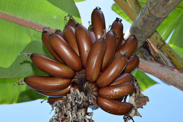 Amazing Brown Musa banana  bundle - MUSACEAE