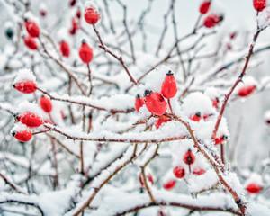 Ягоды под снегом