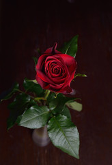 Photo of a red rose in vase on brown wooden table. Perfection of