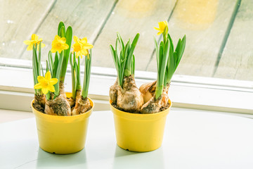Daffodils in flowerpots at a window