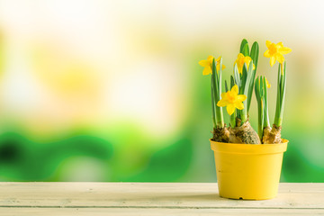 Daffodils in a flowerpot on a shelf
