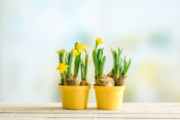 Two flowerpots with daffodils