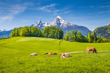 Fototapete - Idyllic landscape in the Alps with cows grazing on green meadows in spring