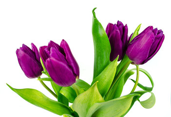 Tulip. Beautiful bouquet of tulips. Colorful tulips. Tulips in spring. Tulips violet. Tulip on white background. Tulip purple.  ulip.  tulips macro, isolated tulips on white background for card.