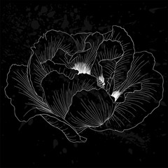 beautiful monochrome black and white Plant Paeonia arborea (Tree peony) flower isolated.