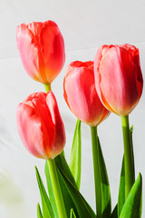 Beautiful flowers tulips