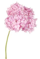 Foto op Canvas Hydrangea Pink flower hydrangea (Clipping path)