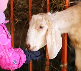 Photo portrait of a goat
