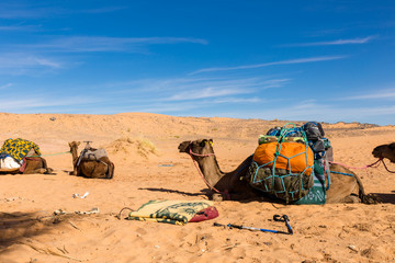 Camels with a load in the Sahara desert
