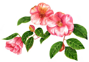 Vintage style watercolor camellia branch with blossoming flowers