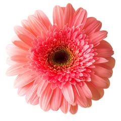 Flower pink gerbera