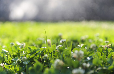 Clover field. Nature background