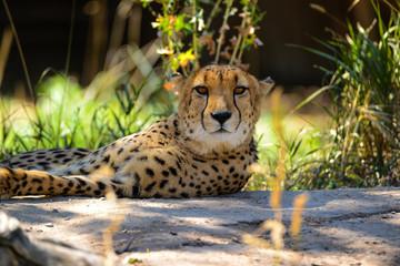 Cheetah closeup laying in shade