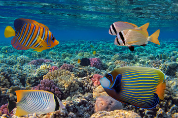 Fototapete - Coral Reef and Tropical Fish in the Red Sea, Egypt