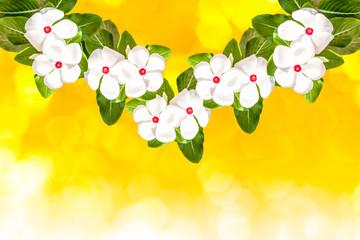 Fresh Cayenne jasmine flower isolated on yellow