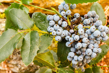 Mahonia aquifolium. Uva de Oregón. Arbusto con frutos.