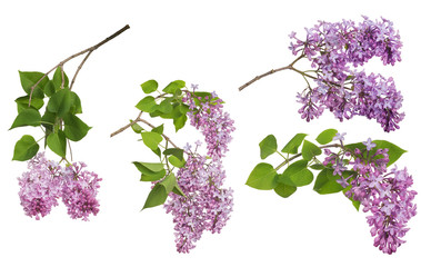 Photo sur Toile Lilac light isolated lilac inflorescences collection