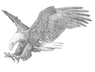 Bald eagle swoop hand draw monochrome on white background illustration.