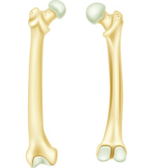 Illustration of human bone anatomy