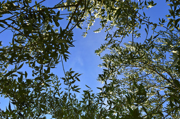 Olive tree brunch in spring