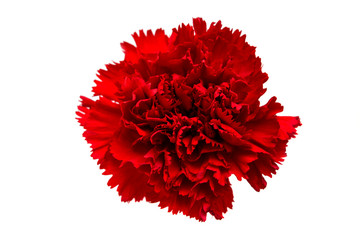 red carnation isolated