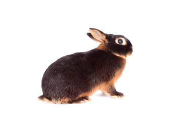 Dark color rabbit isolated on white