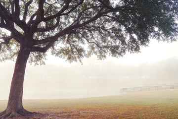 Lone tree in a field meadow pasture paddock farm ranch on a foggy morning