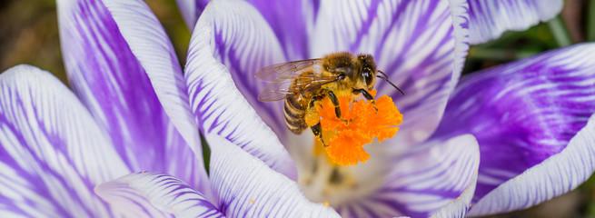 Wall Murals Crocuses Honigbiene auf Krokus Blüte im Frühling