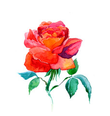 the new view of roses watercolor hand drawn for post card isolated on the white background