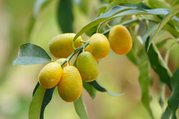 Kumquat (Citrus japonica) the member of citrus fruit