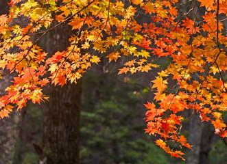 Autumn, maple leaves, autumnal foliage